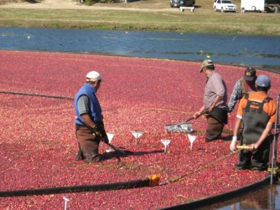 Cranberry Harvest. A.D. Makepeace Co.Wareham MA Cranberry Festival Fall 2009