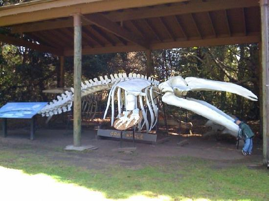 ‪فورت براج, كاليفورنيا: Whale Skeleton at MacKerricher State Park‬