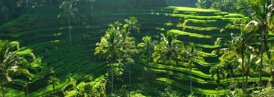 Tegalalang Rice Terrace : The awesome rice terraces after the rains in March