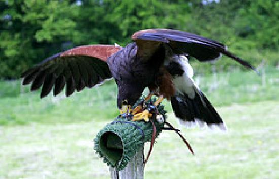 West Sussex Falconry: Harris Hawk Smudge