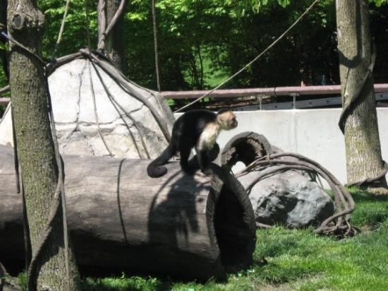 Fort Wayne, IN: Capuchin Monkey