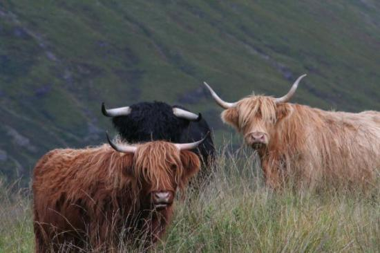 Glasgow, UK: Love these hairy coos - had to chase the little suckers for this shot!