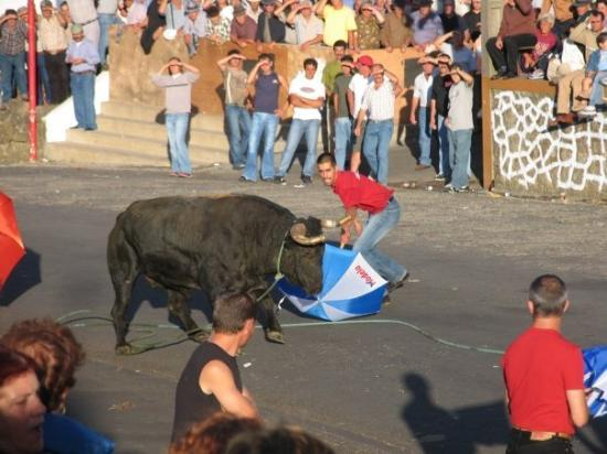 Terceira, Portugal: bull running - Lajes, Azores, Portugal