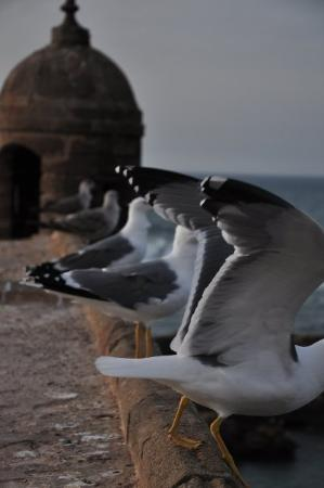 Seagulls, Essaouira