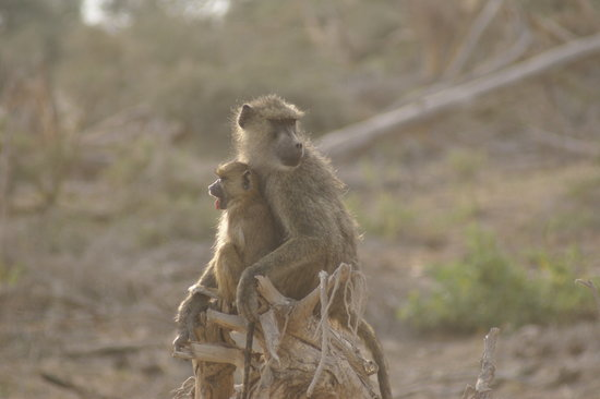 Wildlife Kenya Safaris - Day Trips: Cheeky little monkey