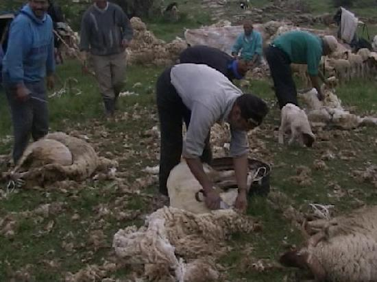 Sheep hand sheering in May above Azrou