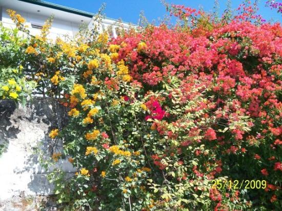 Multicolor Bouganvilla in Dehradun