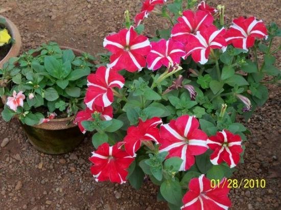 Santiniketan, Ινδία: Flowers of Shantiniketan- There are flowers everywhere.