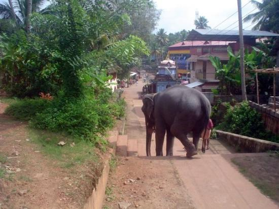 Temple elephant in Varkala