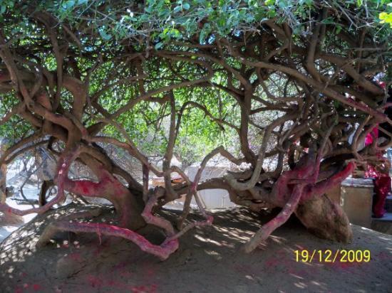 Vrindavan, India: Radhe Mein Hain Krishna...Krishna Mein Hain Radhe Two Tulsi tree joined seemlessly in Nikunj Va