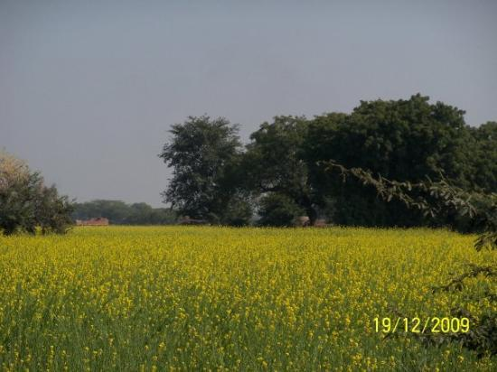 Vrindavan, India: Beautiful Sarson Ka khet in and around Brindaban