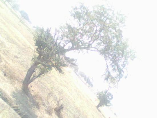 "Shirdi, Hindistan: crescent ""c"" shaped  tree..."