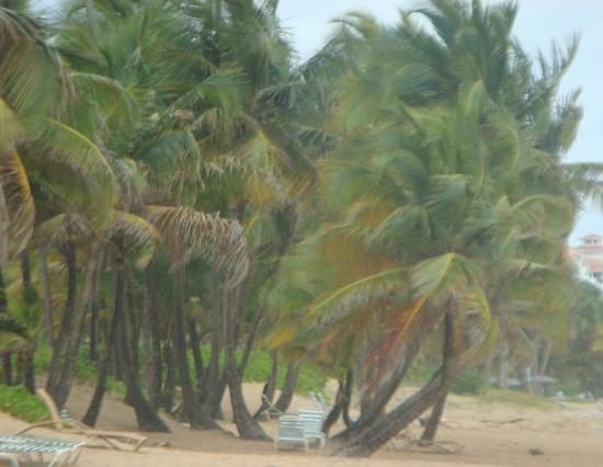 Rio Grande, Puerto Rico: Beautiful Palms on the Wyndham Beach