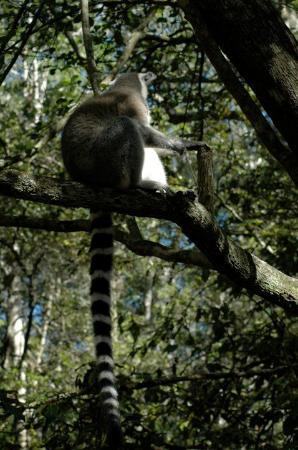 Camps Bay, South Africa: ringtail from Madagascar