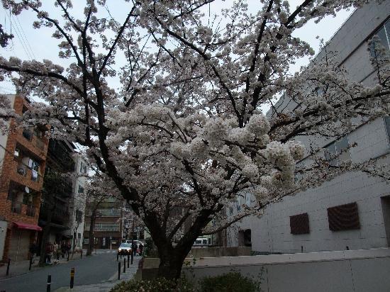 Κιότο, Ιαπωνία: Gion Shirakawa, April 4 2010