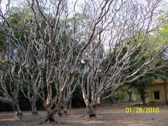 Santiniketan, Hindistan: The Tree has shed its leaves but still looks amazingly beautiful