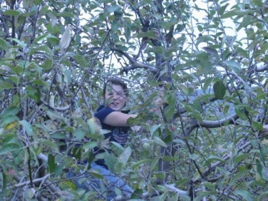 Zirconia, NC: Tiffany in the apple tree!