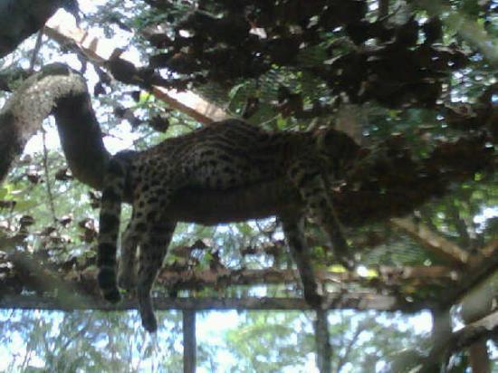 Rio Branco, AC: Un tigrillo