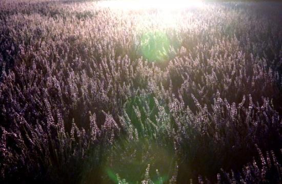 Aix-en-Provence, France : Provence Lavender