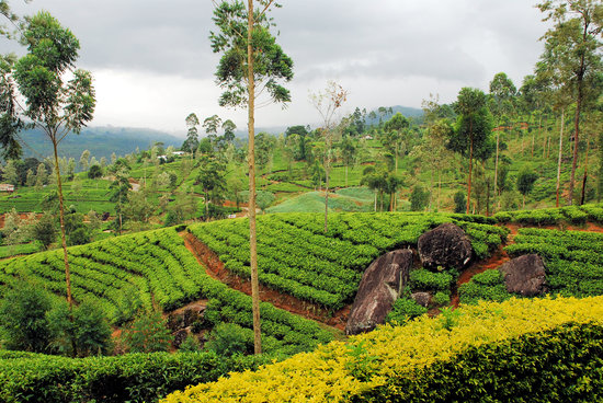 Hatton, Sri Lanka : lovely tea plantation