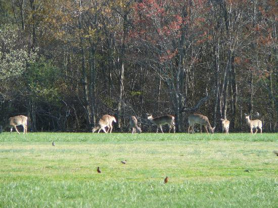 Deer at Cape Henlopen State Park