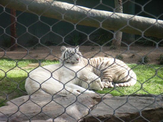 White Tiger Habitat at the Mirage: sleep time
