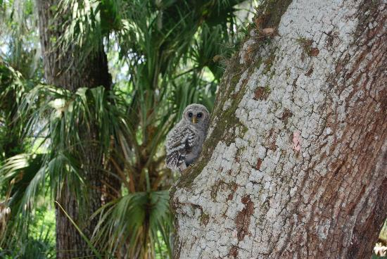 Hillsborough River State Park: a baby owl