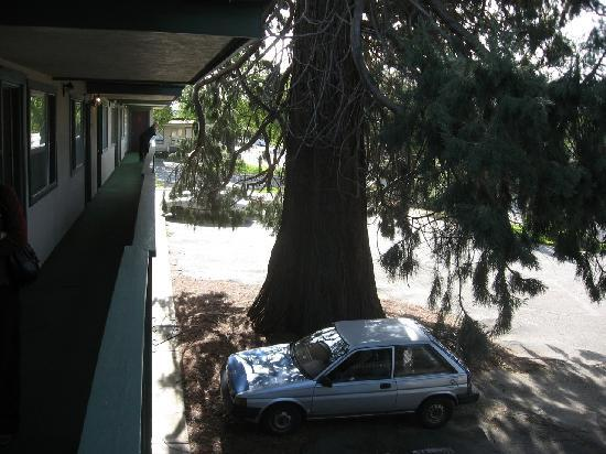 Robin Hood Motel: The giant cedar tree in the main parking area.