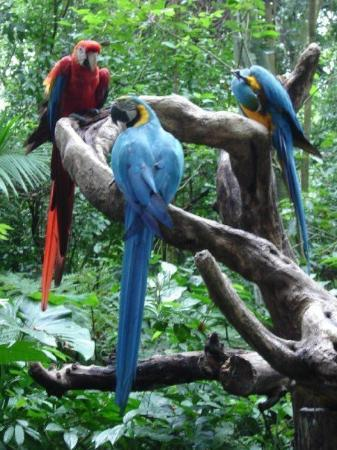 Foz do Iguacu, PR: Papagaio, the national bird of brazil (especially the blue one)