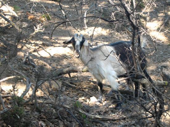 Traditionelles Dorf Milia: goats