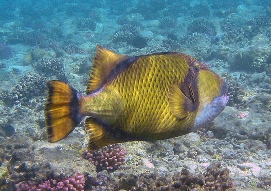 Ellaidhoo Maldives by Cinnamon: pesce da cui fare attenzione Balestra Titano