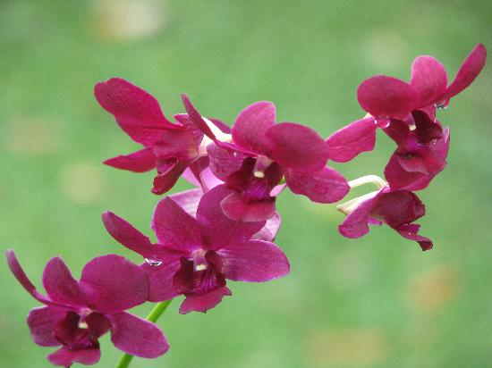 Pedasi, Panama: orchids everywhere