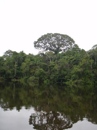 Leticia, Colombia: el arbol mas alto, LA CEIBA