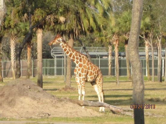 Disney's Animal Kingdom Lodge : Giraffes all over the compound