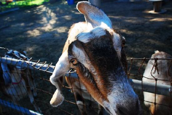 Goleta, Californien: Happy goats!