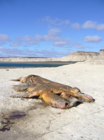 Puerto Madryn, Argentina: A dead stinking whale :S