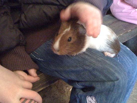 Umberslade Farm Park: holding the guinea pigs