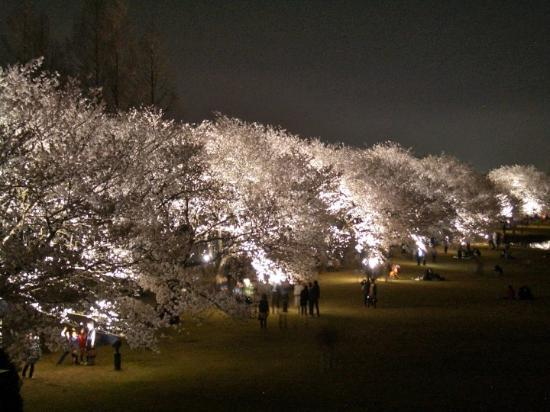 Toyama, Japón: Cherry Blossoms Viewing at night.