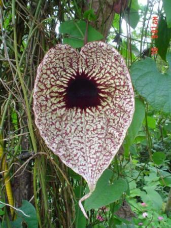 Cobano, Costa Rica: Flores de Costa Rica, Dama de Noche, Patito elegante o  Dutchman's pipe