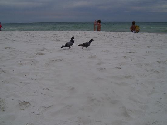 Panama City Resort and Club: Bert and Ernie who kept us company while we tanned