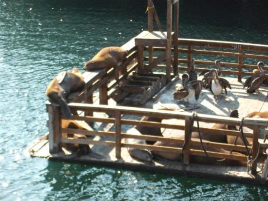 Monterey, Kalifornien: sea lions