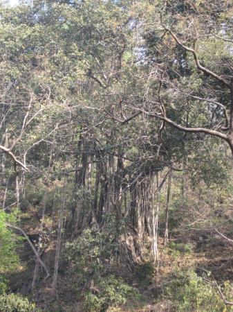 Bargad ka Ped - Picture of Rishikesh, Dehradun District