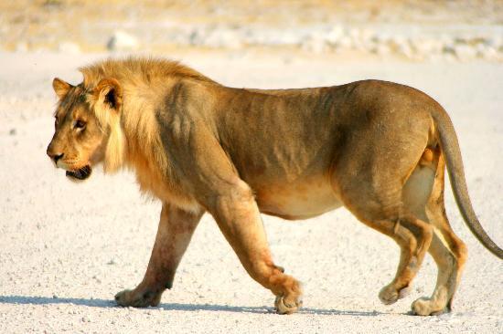 Etosha National Park, นามิเบีย: Etosha - lion