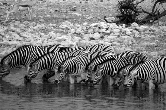 Etosha National Park, Namibia: Etosha - zebra