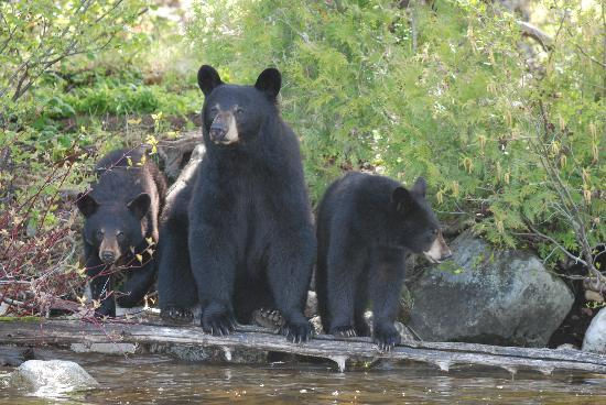 Errington's Wilderness Island Resort: mama bear with her cubs