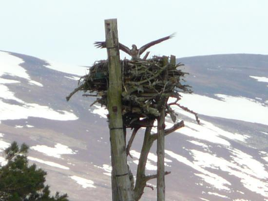 RSPB Loch Garten: Osprey Landing - view from Hide