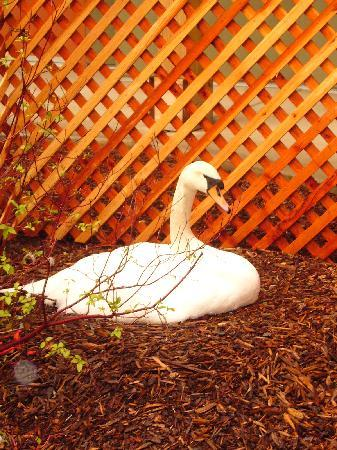 Anderson, Kalifornia: Swan nesting in courtyard
