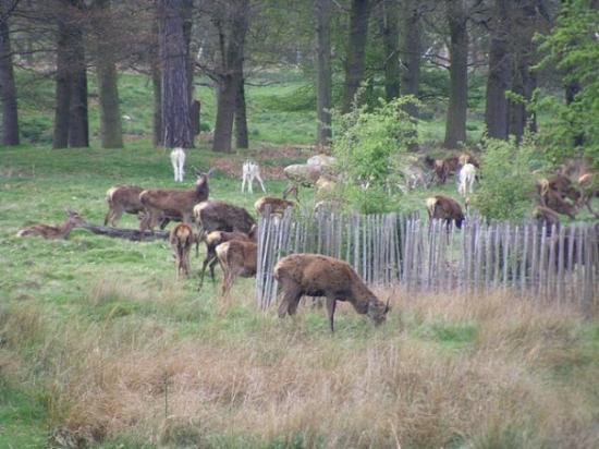wielkie miasto a w parku takie zwierzaki se biegają xD  Richmond park