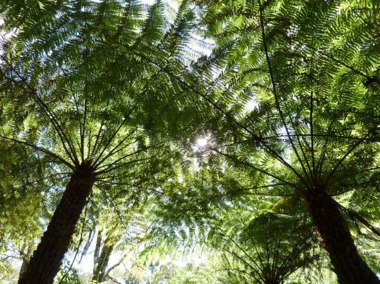 Springbrook, Australia: Ferntrees