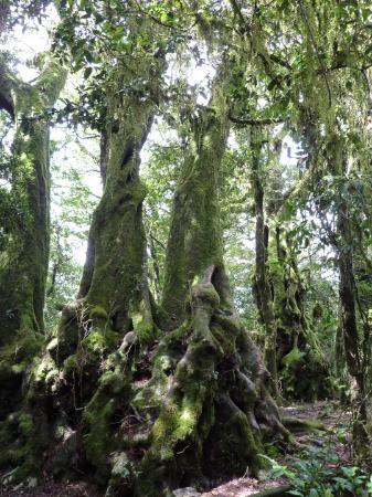 Springbrook, Australia: Ancient tree species from the time when Earth consisted of one big supercontinent called Gondwan